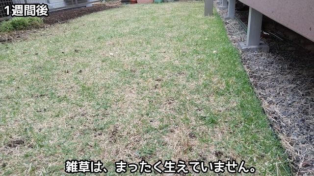 除草剤を撒いて1週間後の芝庭