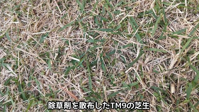 除草剤を撒いたTM9の芝生