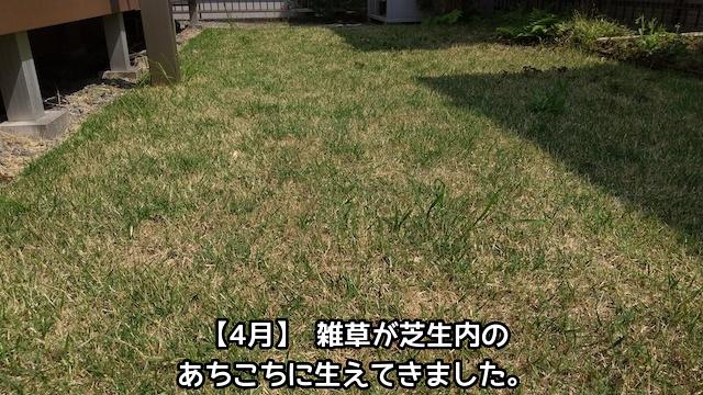 芝生に生えてきた雑草